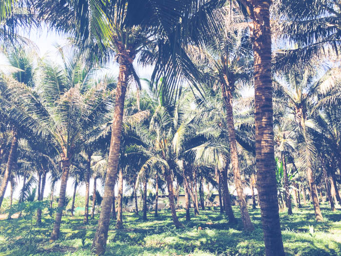 Maprao organic coconut water farm